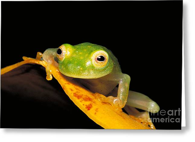 Anuran Greeting Cards - Northern Glass Frog Greeting Card by Dante Fenolio