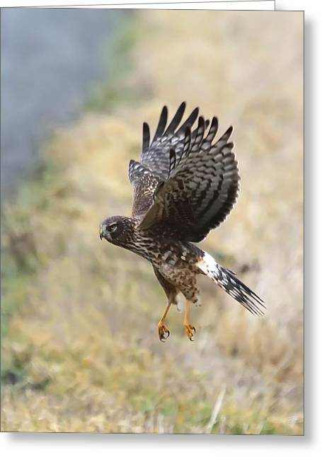 Wildlife Refuge. Greeting Cards - Northern Harrier 2 Greeting Card by Angie Vogel