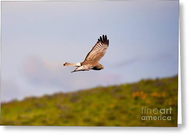 Hawk Greeting Cards - Northern Harrier Flight Greeting Card by Mike  Dawson