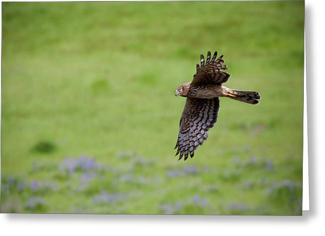 Hunter Greeting Cards - Northern Harrier Fly By Greeting Card by Mike  Dawson