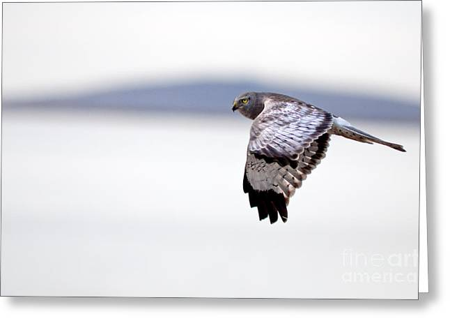 Utah Greeting Cards - Northern Harrier Greeting Card by Joseph Rossi