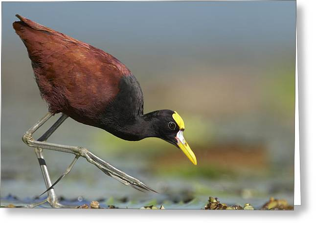 Northern Jacana Foraging Costa Rica Greeting Card by Tim Fitzharris