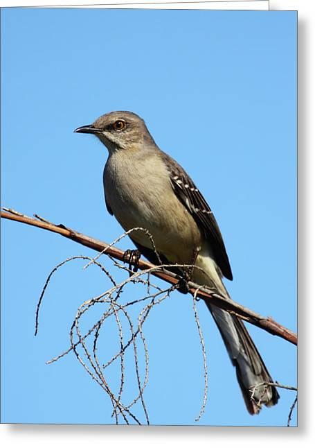 Mockingbird Greeting Cards - Northern Mockingbird Greeting Card by Bruce J Robinson