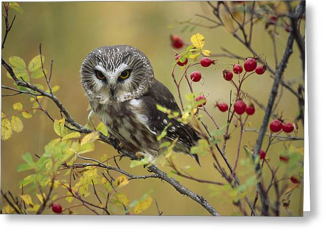 British Columbia Greeting Cards - Northern Saw Whet Owl Perching Greeting Card by Tim Fitzharris