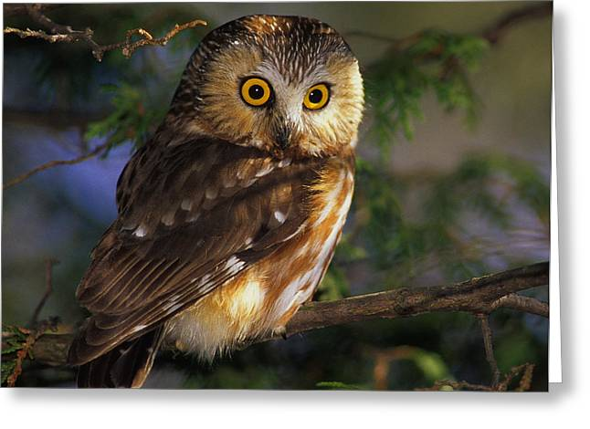 Northern Canada Greeting Cards - Northern Saw-whet Owl Greeting Card by Tony Beck