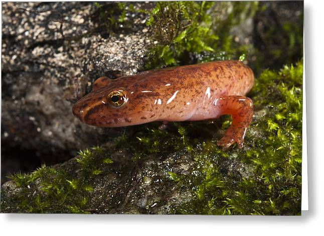 Plethodontidae Greeting Cards - Northern Spring Salamander Gyrinophilus Greeting Card by Pete Oxford