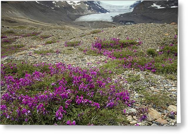Vetch Greeting Cards - Northern Sweet Vetch (hedysarum Boreale) Greeting Card by Bob Gibbons