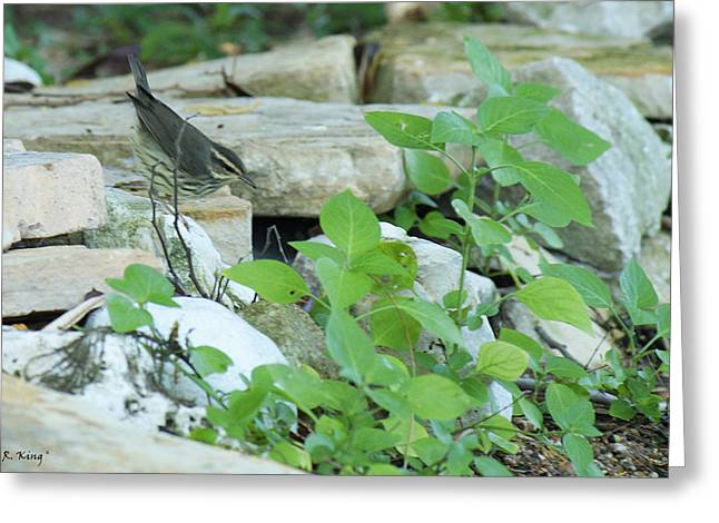 Wildlife Genre Greeting Cards - Northern Waterthrush By The Stream Greeting Card by Roena King