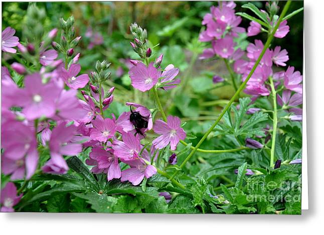 Naturalistic Greeting Cards - Northwest Native Rose Checker mallow Greeting Card by Tanya  Searcy