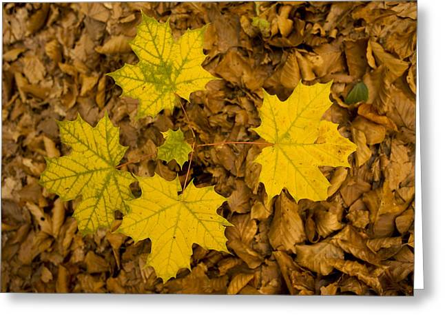 Four Aces Greeting Cards - Norway Maple Leaves Greeting Card by Bob Gibbons