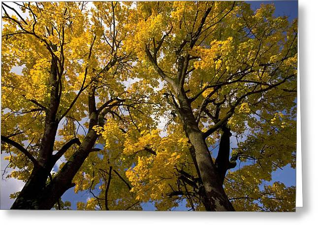 Norway Maple Greeting Cards - Norway Maples (acer Platanoides) Greeting Card by Bob Gibbons