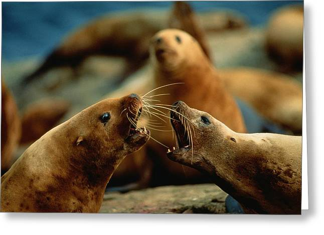 Animal Human Coexistence Problems Greeting Cards - Nose-to-nose, Two Steller Sea Lion Cows Greeting Card by Joel Sartore