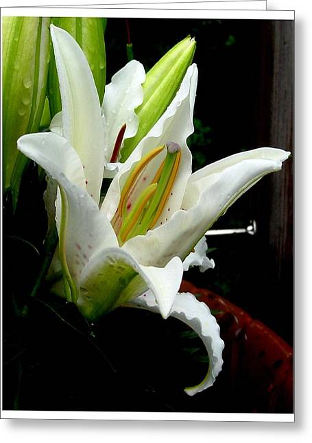 Day Lilly Greeting Cards - Not quite there yet Greeting Card by Frank Wickham