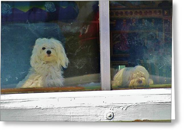Sleeping Maltese Greeting Cards - Now and Later Greeting Card by Christine  Fifer