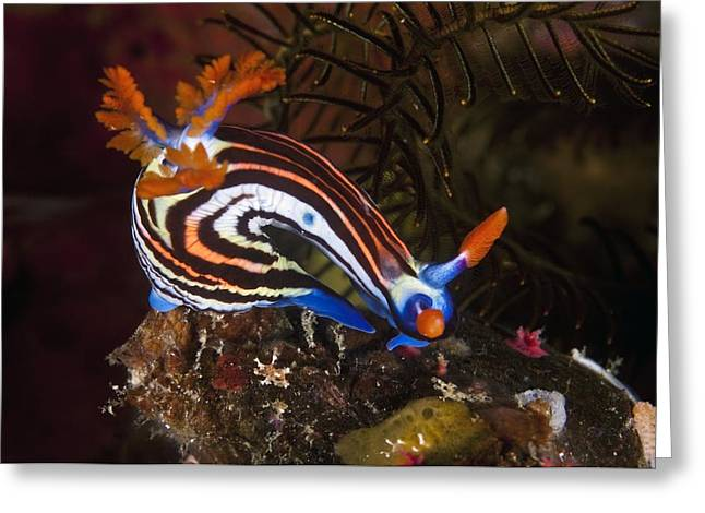 Marine Mollusc Greeting Cards - Nudibranch Greeting Card by Matthew Oldfield
