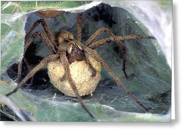Parental Care Greeting Cards - Nursery Spider Greeting Card by Dr Keith Wheeler