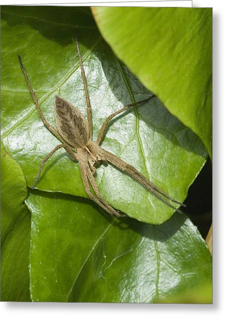 Olive Green Greeting Cards - Nursery Web Spider Greeting Card by Adrian Bicker