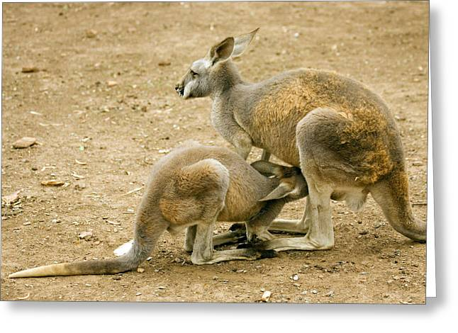 Kangaroo Greeting Cards - Nursing Time Greeting Card by Mike  Dawson