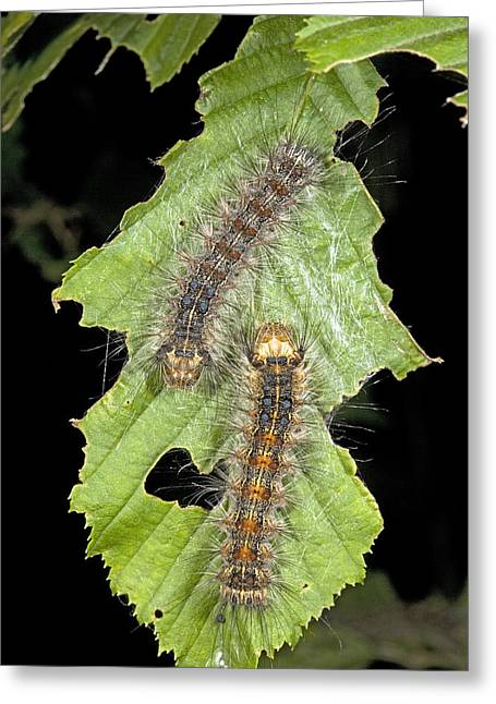 Nut Trees Greeting Cards - Nut-tree Tussock Moth Caterpillars Greeting Card by Bob Gibbons
