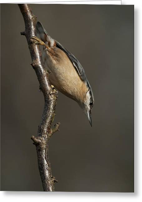 Larvae Greeting Cards - Nuthatch Greeting Card by Andy Astbury