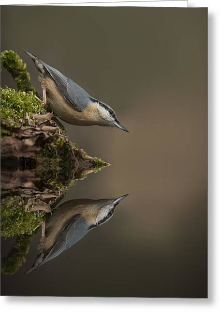 Andy Astbury Greeting Cards - Nuthatch Reflection Greeting Card by Andy Astbury