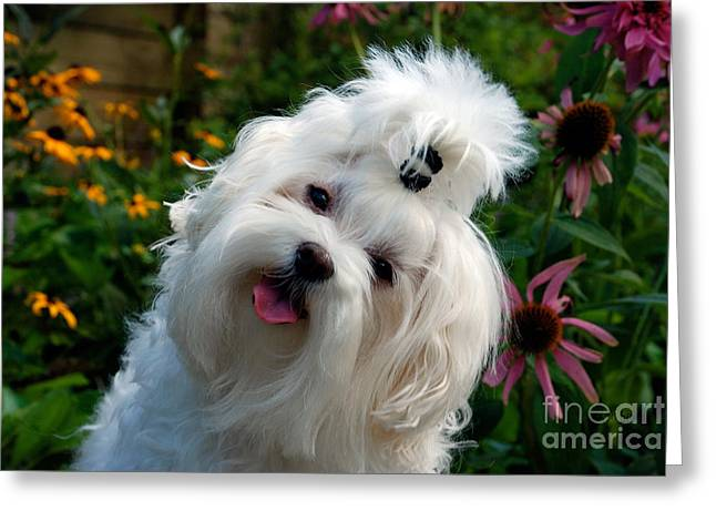 Maltese Dogs Greeting Cards - Nuttin But Love Greeting Card by Lois Bryan