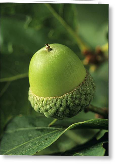 Quercus Greeting Cards - Oak Acorn (quercus Sp.) Greeting Card by David Aubrey