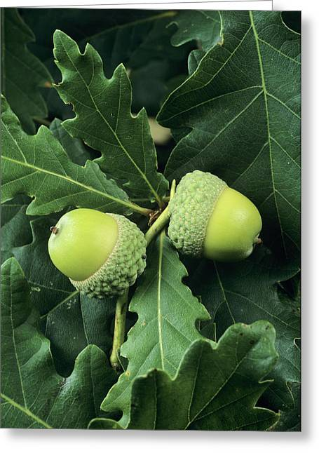 Quercus Greeting Cards - Oak Acorns (quercus Sp.) Greeting Card by David Aubrey