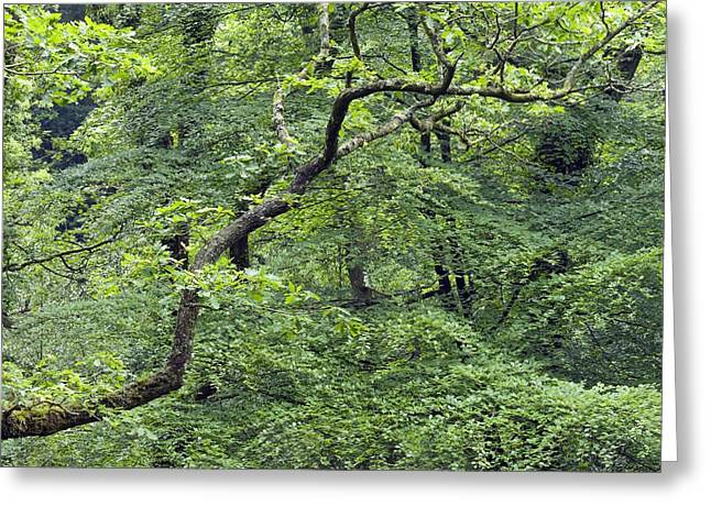 """spreading Tree"" Greeting Cards - Oak And Beech Trees, Dartmoor, Uk Greeting Card by Adrian Bicker"