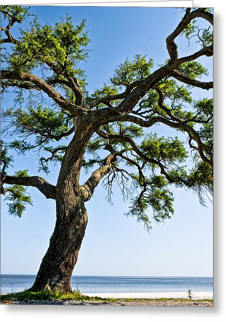 Christopher Holmes Greeting Cards - Oak At The Beach Greeting Card by Christopher Holmes