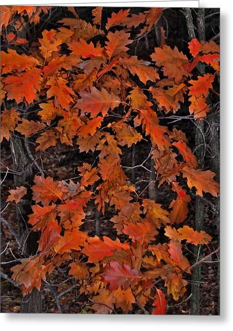 Randall Templeton Greeting Cards - Oak leaves at schram Park. Greeting Card by Randall Templeton