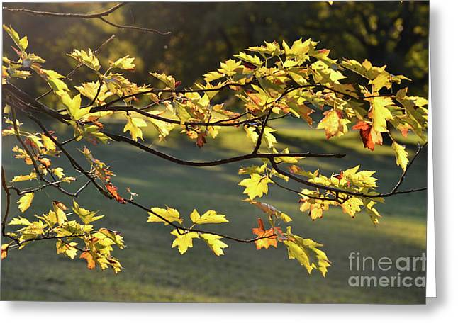 Autumn Sheets Greeting Cards - Oak leaves in the sunlight Greeting Card by Bruno Santoro