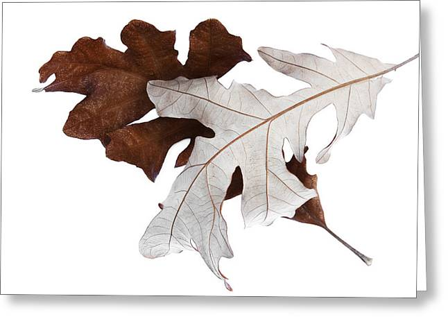 Fallen Leaf Greeting Cards - Oak Leaves Montage No. 4 Greeting Card by The Forests Edge Photography - Diane Sandoval