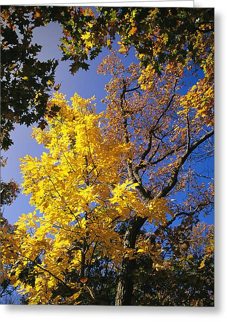 Park Scene Greeting Cards - Oak Tree In Golden Fall Colors Greeting Card by Raymond Gehman