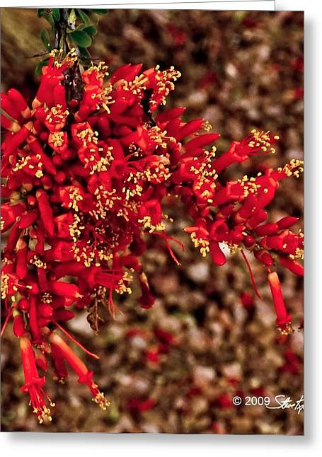 Steve Knievel Greeting Cards - Ocotillo Flowers Close Up Greeting Card by Steve Knievel