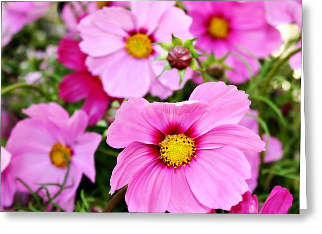Oregon Flowers Greeting Cards - October Cosmos Greeting Card by Cathie Tyler