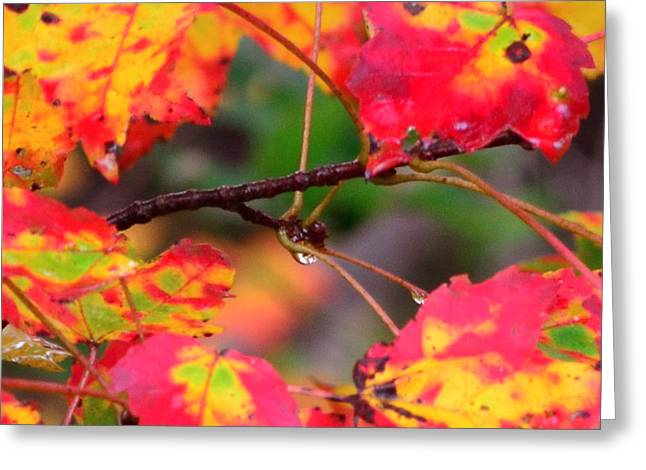 October Maple Greeting Card by Mandi Howard