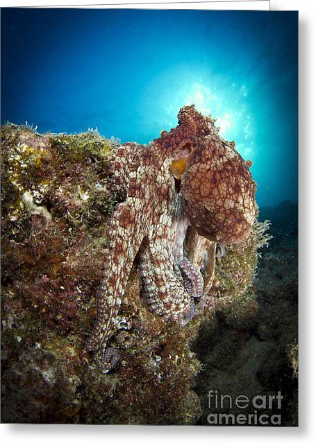 La Paz Greeting Cards - Octopus Posing On Reef, La Paz, Mexico Greeting Card by Todd Winner