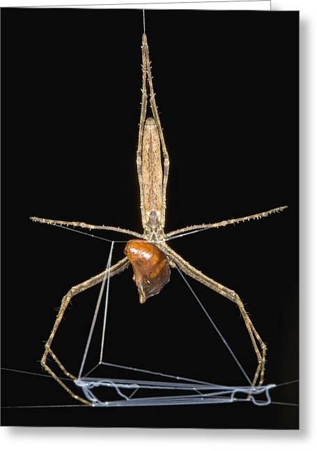 Predating Greeting Cards - Ogre Faced Spider With Cockroach Guyana Greeting Card by Piotr Naskrecki