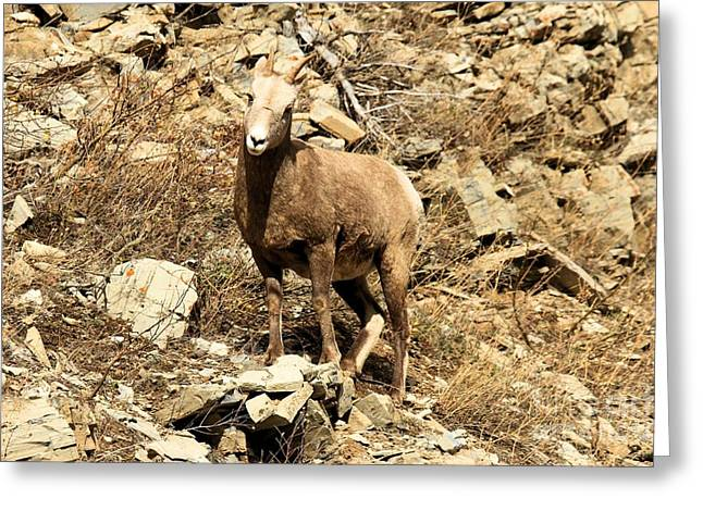Sheep On Rocks Greeting Cards - Oh Really? Greeting Card by Adam Jewell