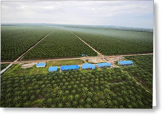 Borneo Island Greeting Cards - Oil Palms Displace Native Plant Greeting Card by Mattias Klum