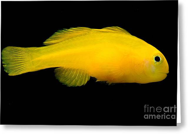 Reef Fish Greeting Cards - Okinawa Goby Greeting Card by Danté Fenolio