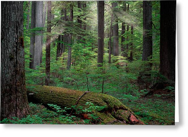 Red Cedar Greeting Cards - Old Growth Forest Greeting Card by Leland D Howard