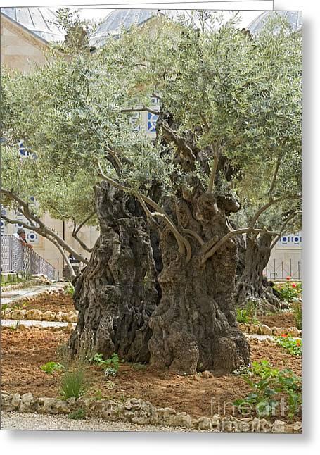 Psi Greeting Cards - Old Olive trees Gethsemane Jerusalem Greeting Card by Ilan Rosen