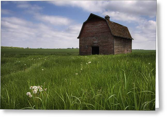 Jul08 Greeting Cards - Old Red Barn And A Field Of Dandelions Greeting Card by Dan Jurak