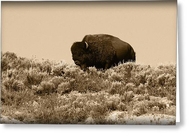 Bison Photos Greeting Cards - Old Timer Greeting Card by Shane Bechler