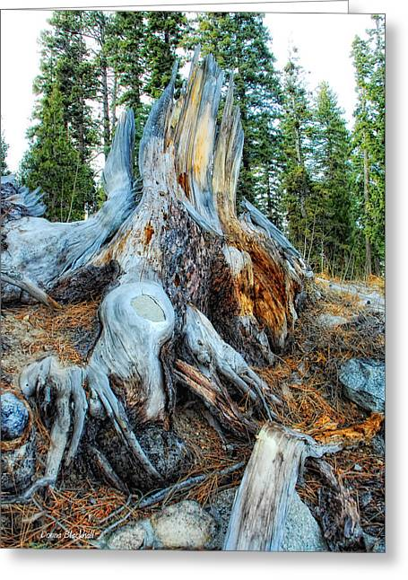 Tree Roots Greeting Cards - Old Warrior Greeting Card by Donna Blackhall