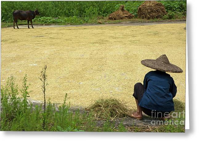 Scrutiny Greeting Cards - Old woman checking harvested rice drying Greeting Card by Sami Sarkis