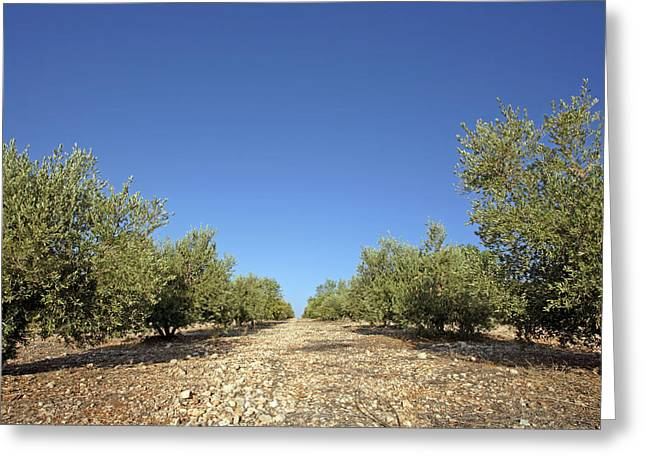 Olive Oil Greeting Cards - Olive Grove Greeting Card by Carlos Dominguez