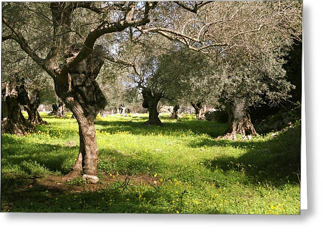 Olive Grove Greeting Cards - Olive grove in Spring Greeting Card by Paul Cowan
